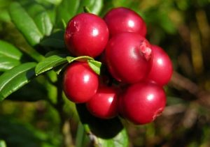 Tisana-di-Mirtillo-Rosso-Cranberry